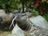 Black-Throat-Monitor-Lizard-