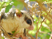 Sugar glider in leaves