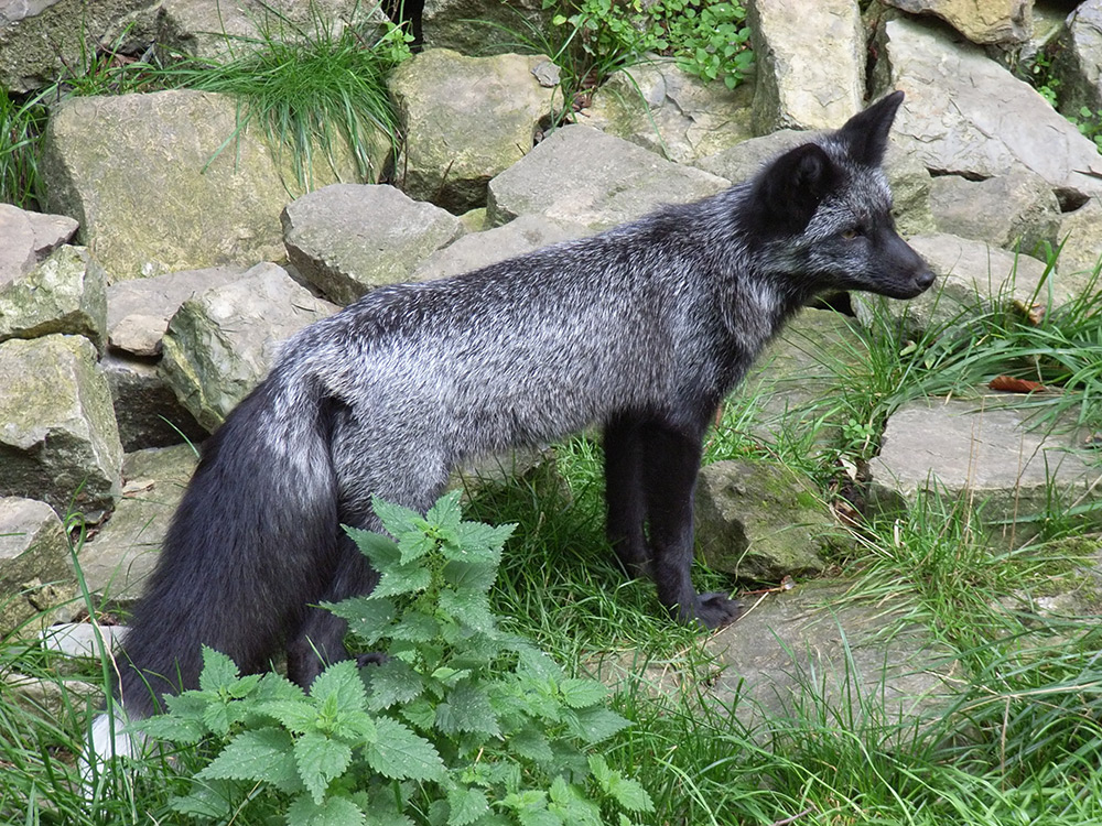 Melanistic Red Fox