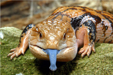 Blue-Tongued Skin