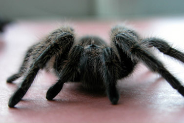 Chilean Rose-Hair Tarantula