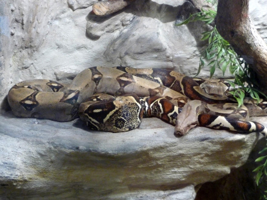 Red Tailed Boa Constrictor
