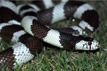 California Common Kingsnake